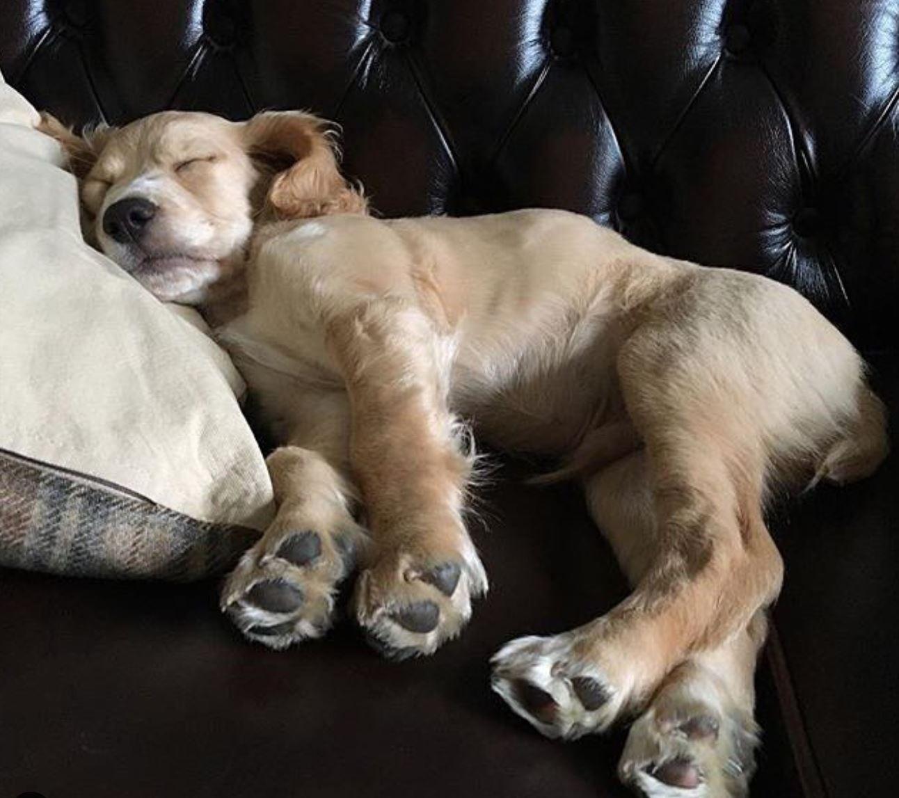 Cocker spaniel sleeping