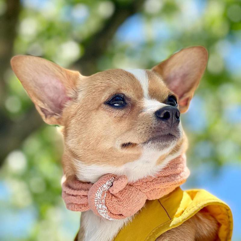 fashionable chihuahua in scarf