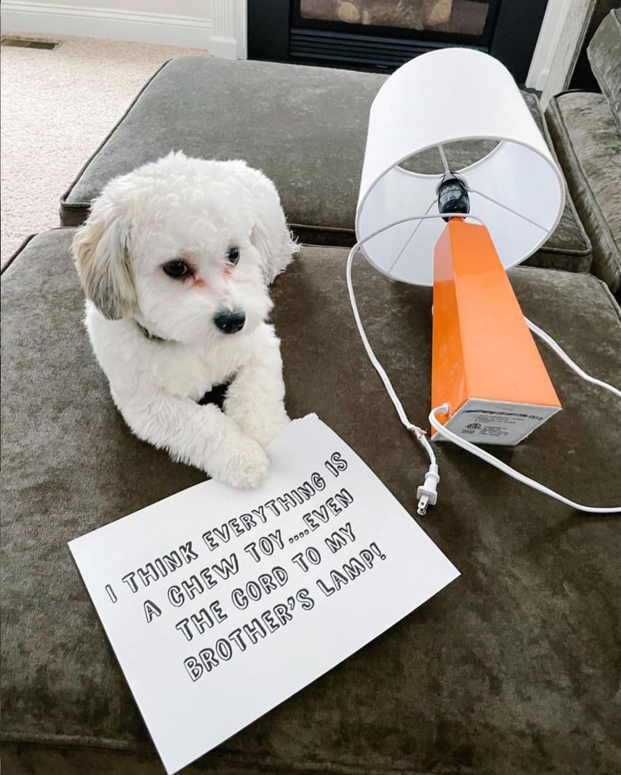 Funny bichon dog at cord to lamp