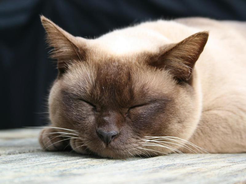 Burmese Cat asleep