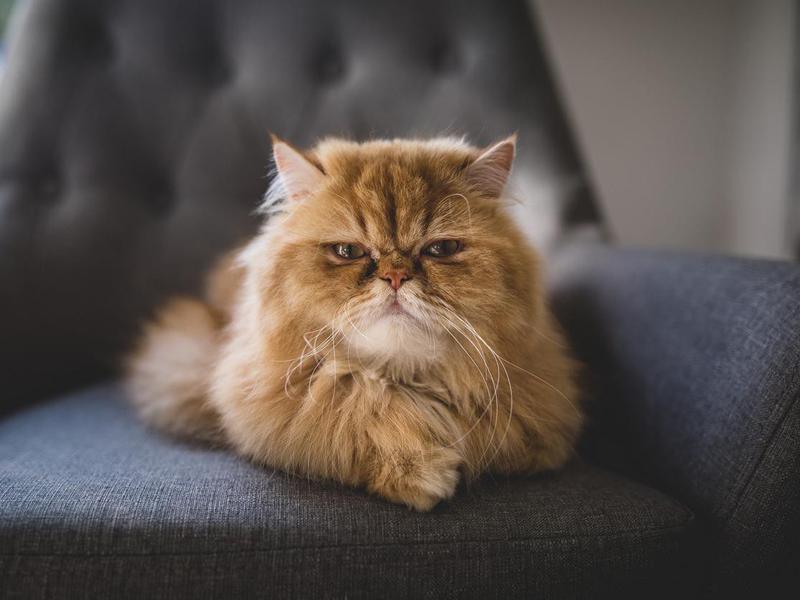 Persian cat on sofa