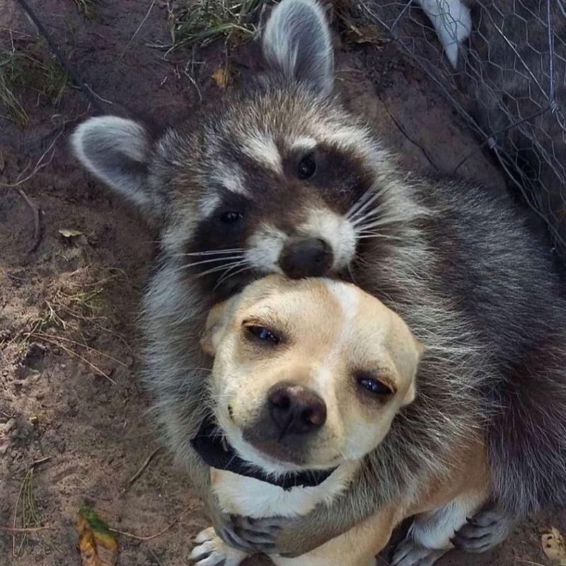 Racoon hugging dog
