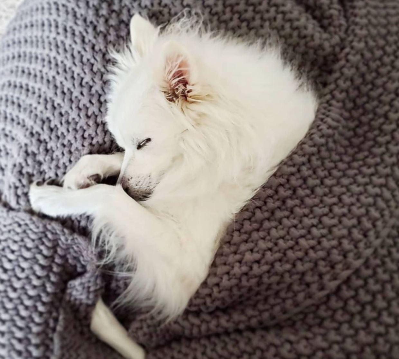 American Eskimo dog sleeping