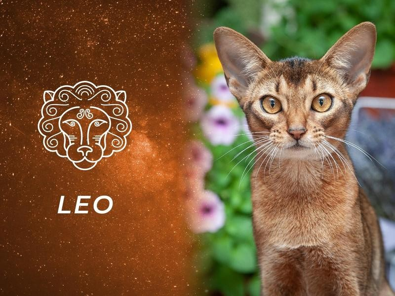 Leo: Abyssinian
