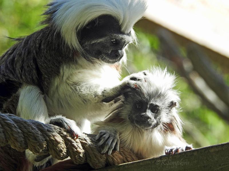 Tamarin monkeys in zoo