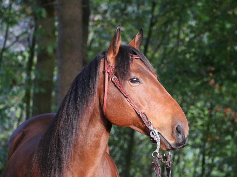 Quarter horse head portrait