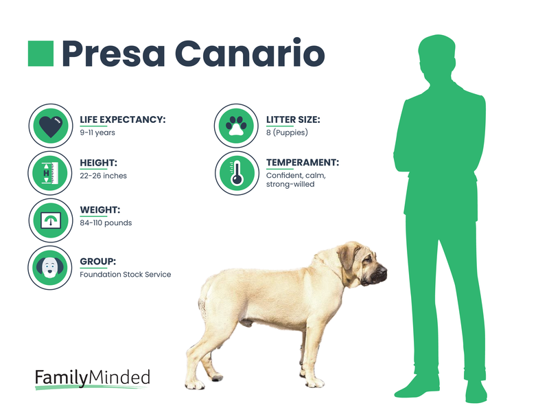 Presa Canario breed