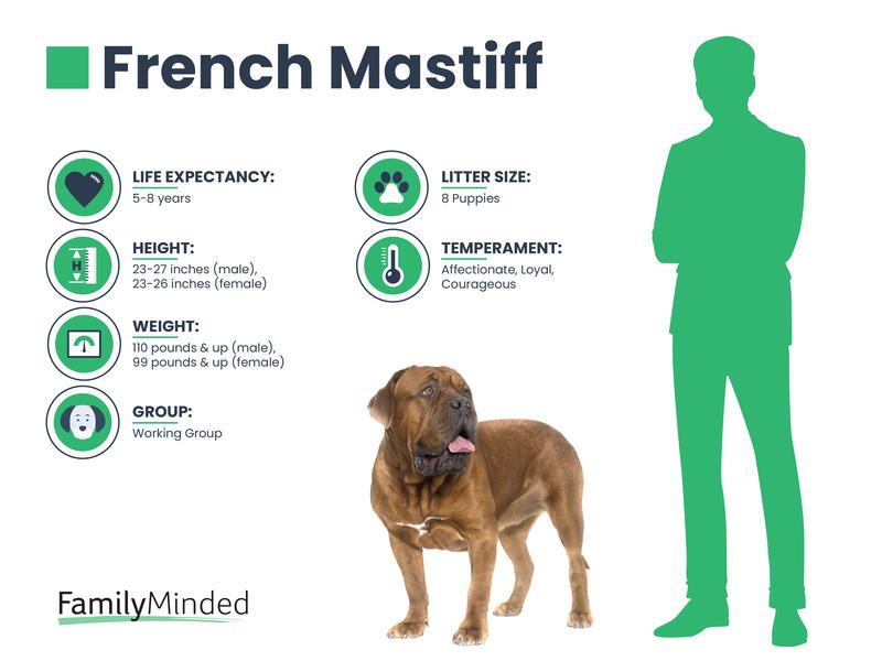 French Mastiff breed info