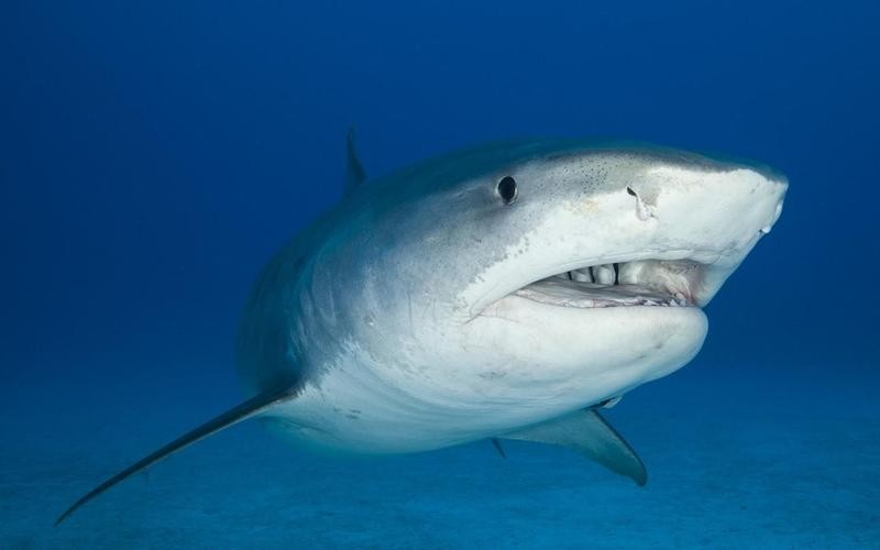 Large, 12-foot tiger shark