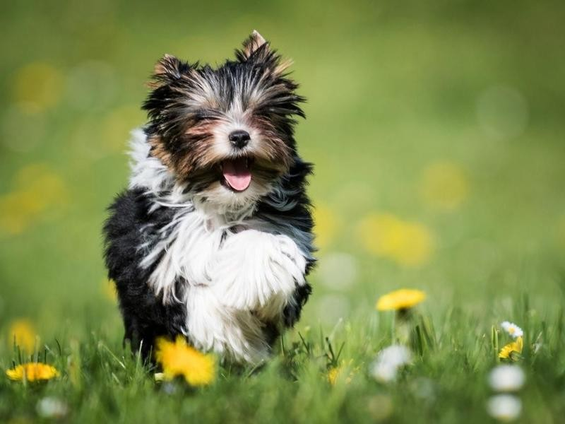 The Biewer Terrier Came to America Just a Few Decades Ago