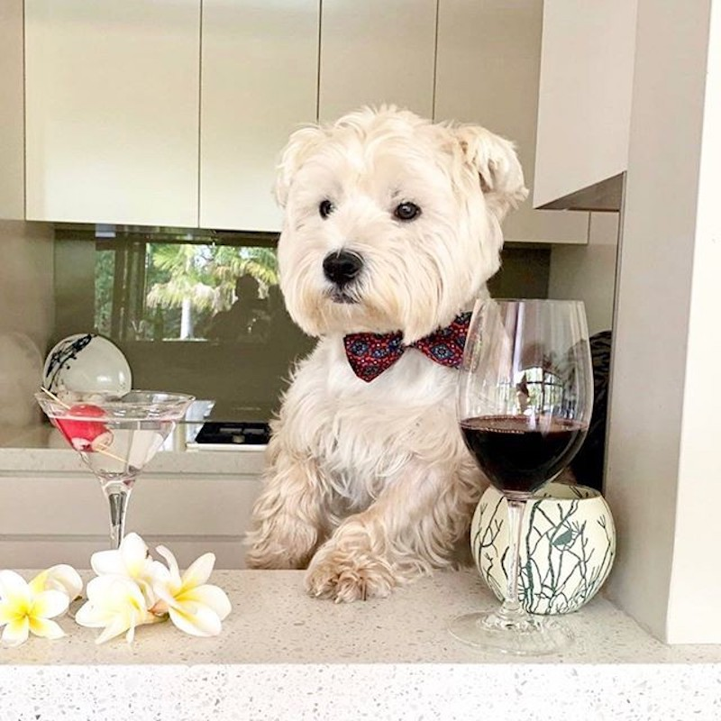 Dog drinking wine