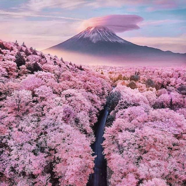 Cherry blossoms at Mt. Fuji