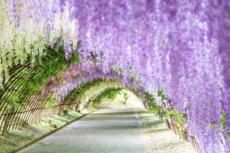 Kawachi Fuji Gardens Wisteria Tunnel