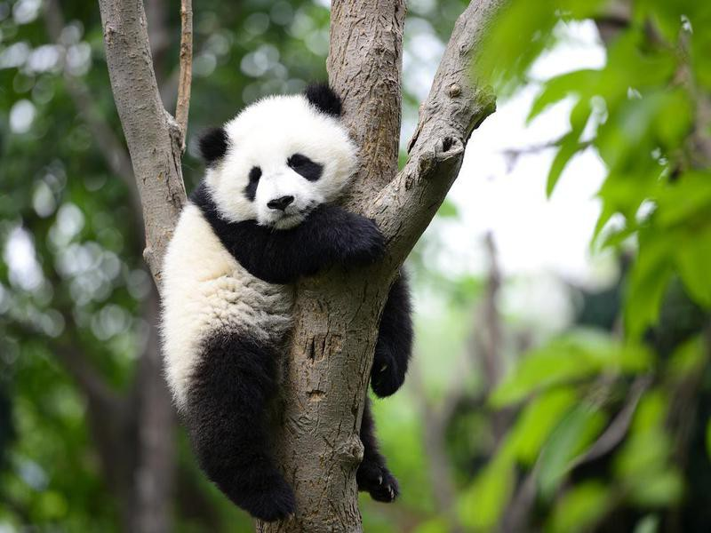 Baby giant panda in a tree