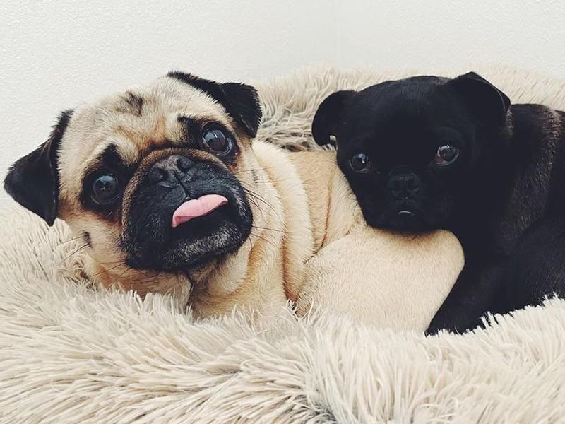 two pugs cuddling