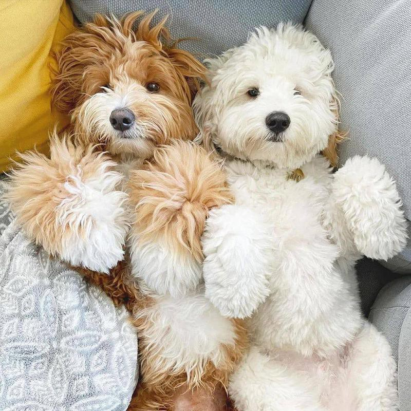 Two miniature poodles cuddling