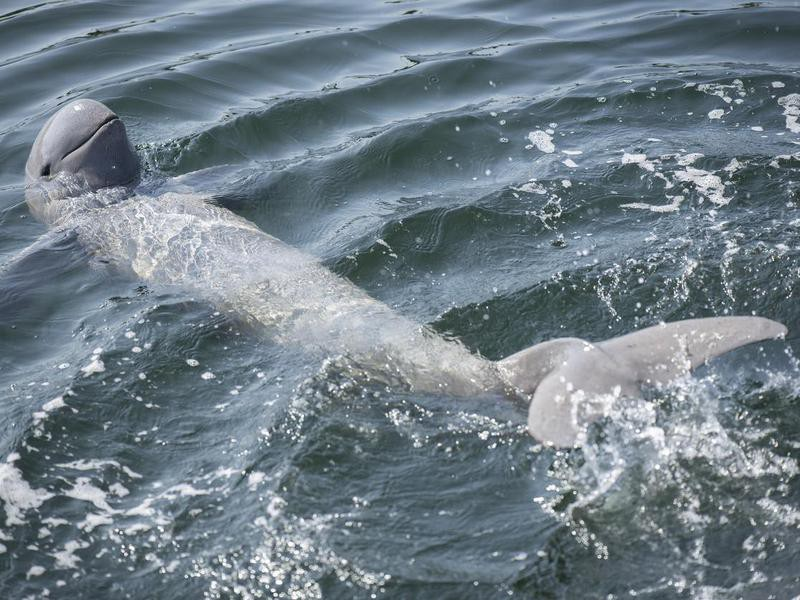 Irrawaddy dolphin swimming in the ocean.