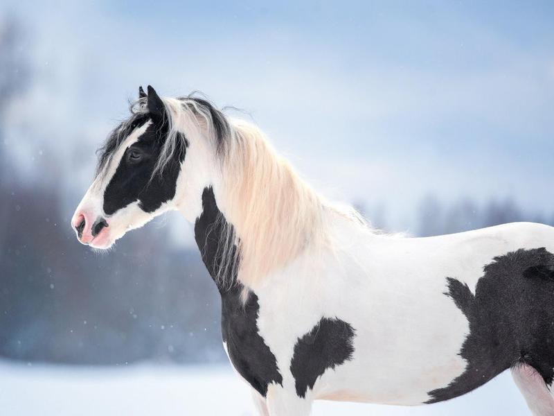 irish cob outdoors in winter portrait closeup