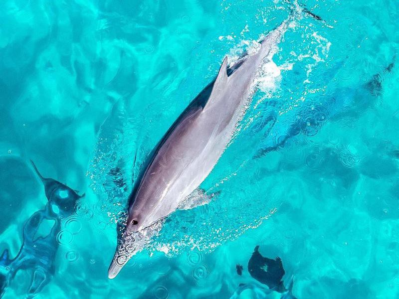 Aerial of dolphin swimming