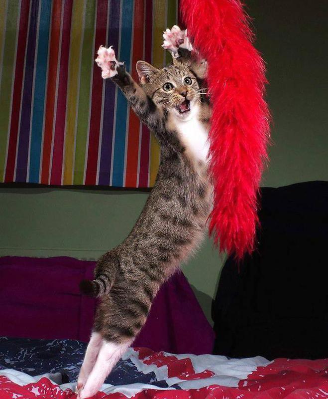 cabaret cat