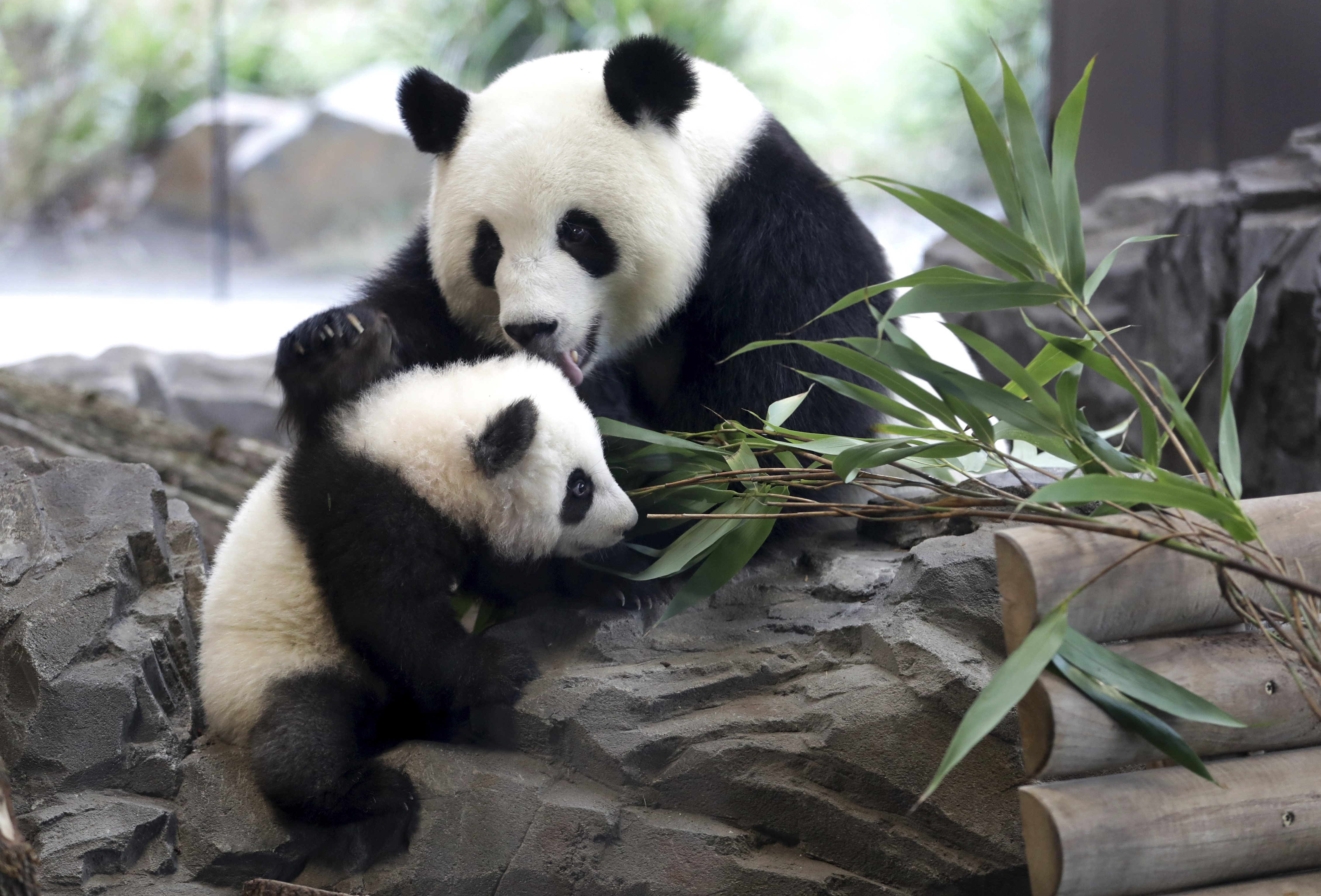 Mother and a young panda