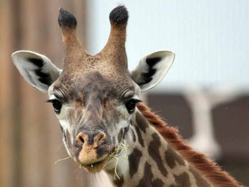 Giraffe Ridge