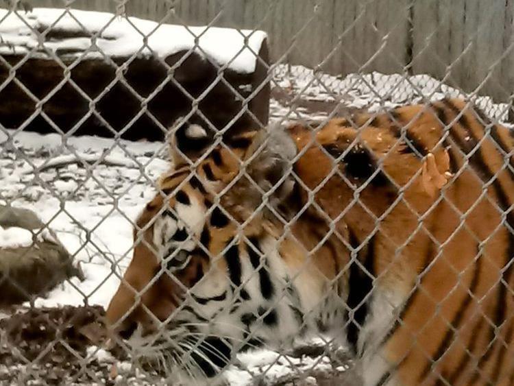 Tiger at Seneca Park Zoo