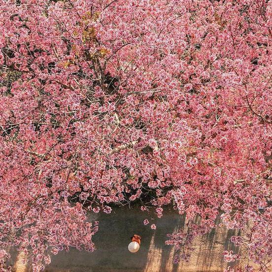 Cherry blossoms in Da Lat, Vietnam