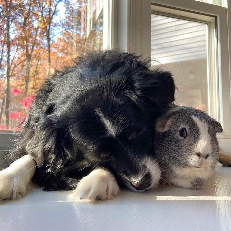 Pup and guinea pig