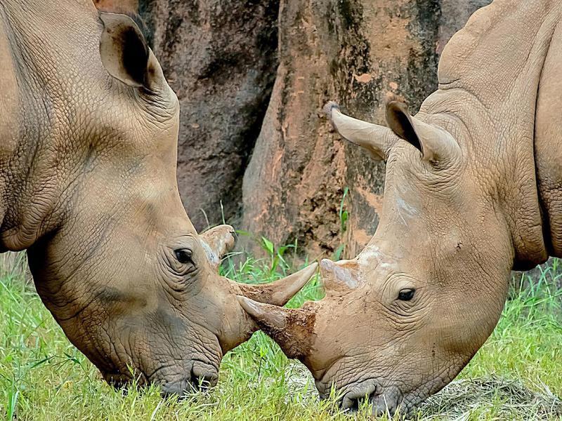 Rhinos in a zoo