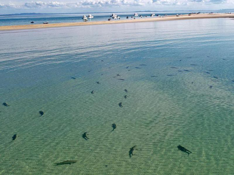 Bull sharks in Brisbaine
