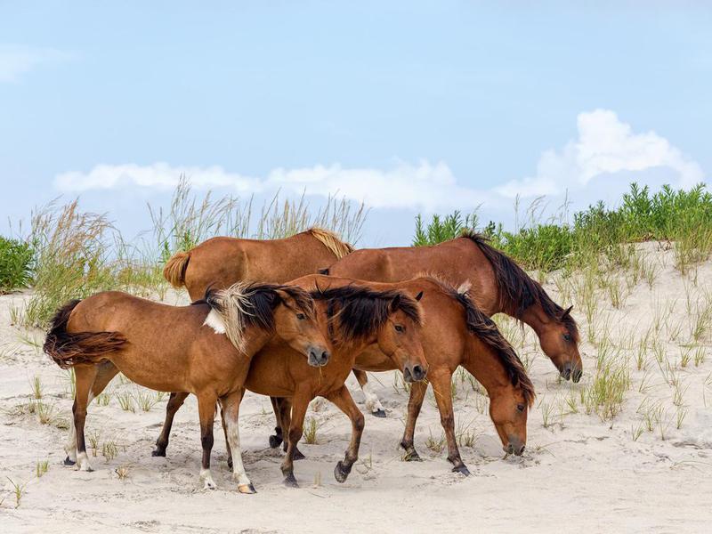Assateague Wild Ponies on the beach in Virginia