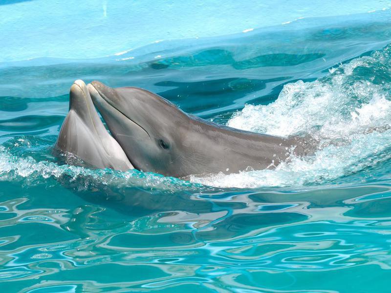 Dolphin couple