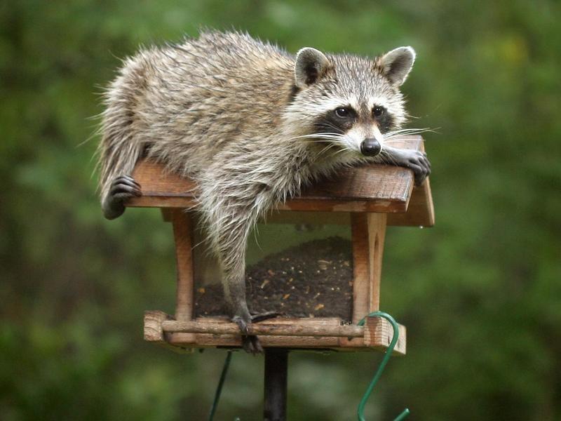 Raccoon climbing