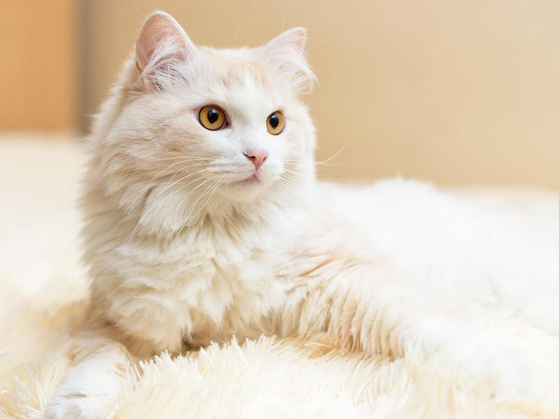 White turkish angora cat
