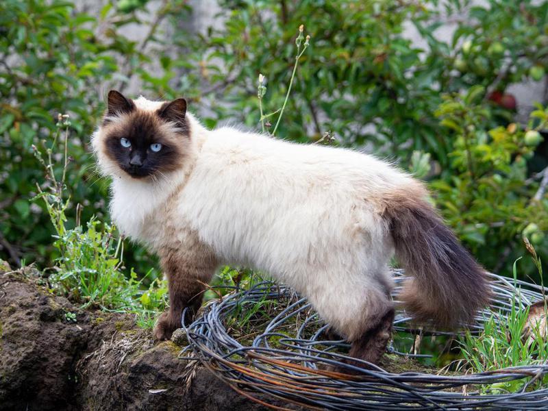 beautiful himalayan siamese cat in the field