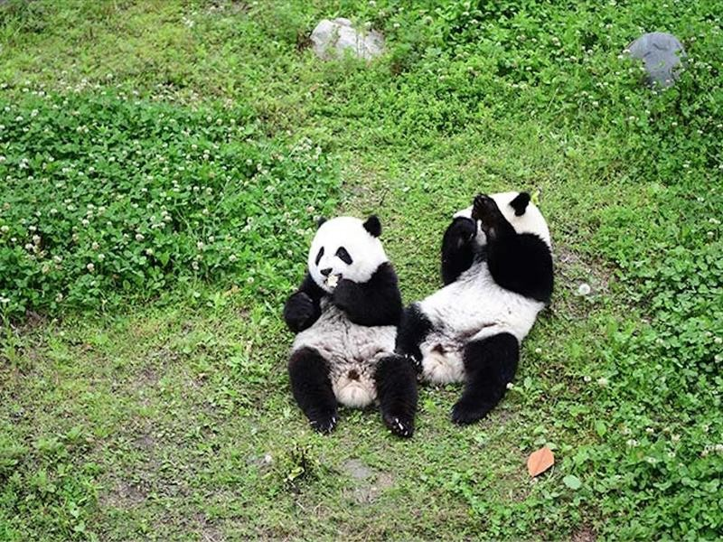 The First Panda Twins Born to a Captive Mother and Wild Father