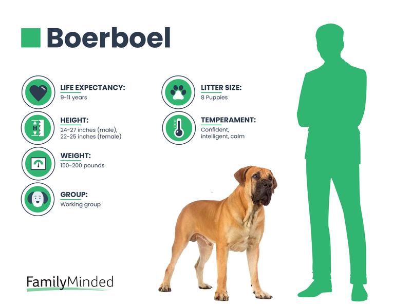 Boerboel breed info