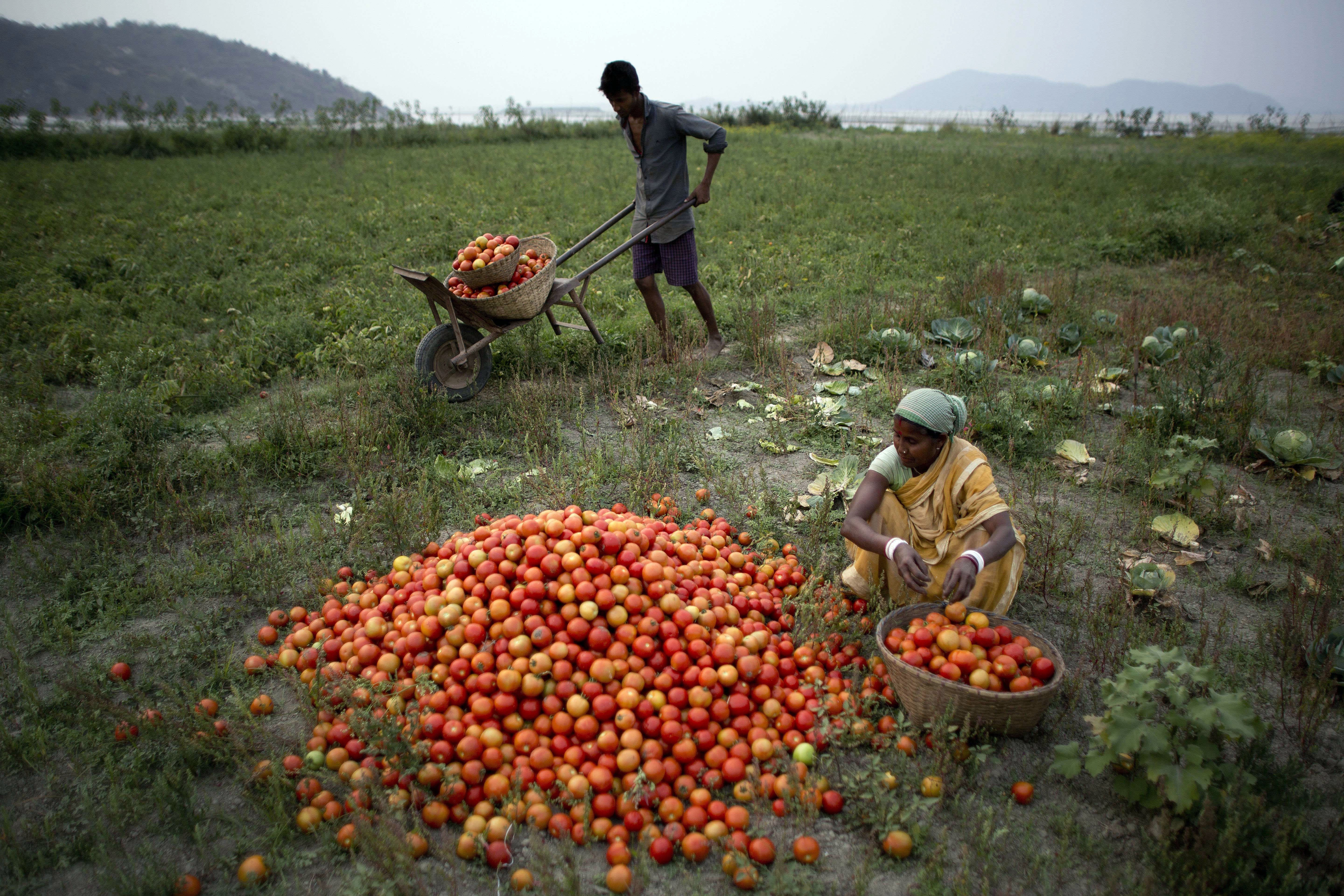 Tomatoes in India