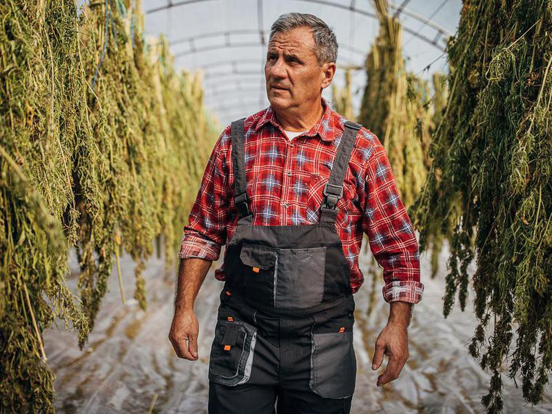 Farmer with drying cannabis plants