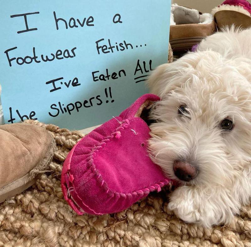 Dog eating a pink slipper