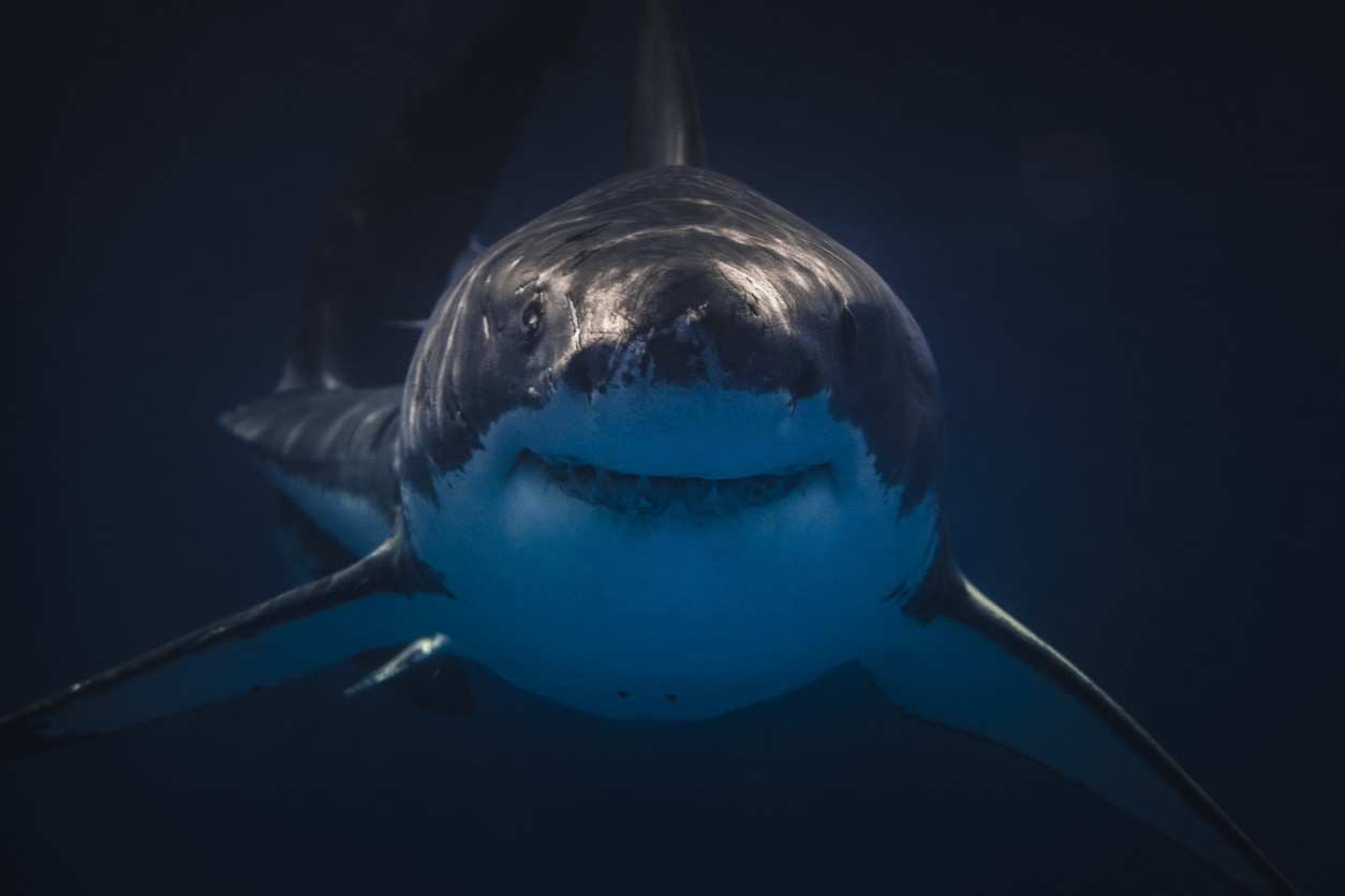 Great white shark facing the camera dead-on