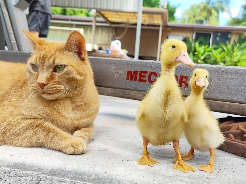 Kitten and ducks