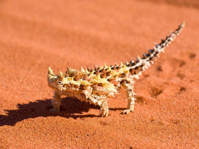 Thorny devil in the Australian desert