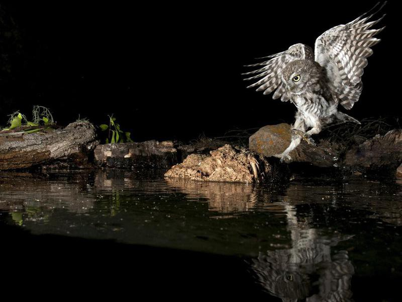 Athene noctua owl by water