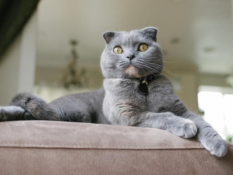 Scottish Fold Cat lounges on couch