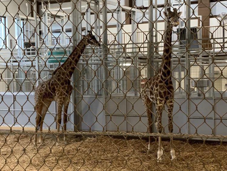 Giraffes at Seneca Park Zoo