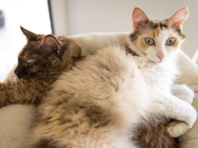 Two LaPerm cats cuddling