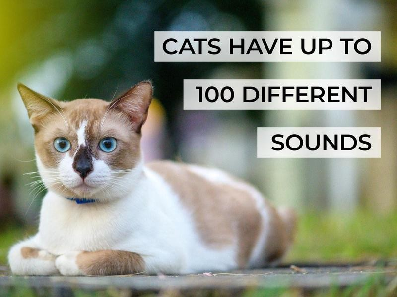 Cats Have Up to 100 Different Sounds