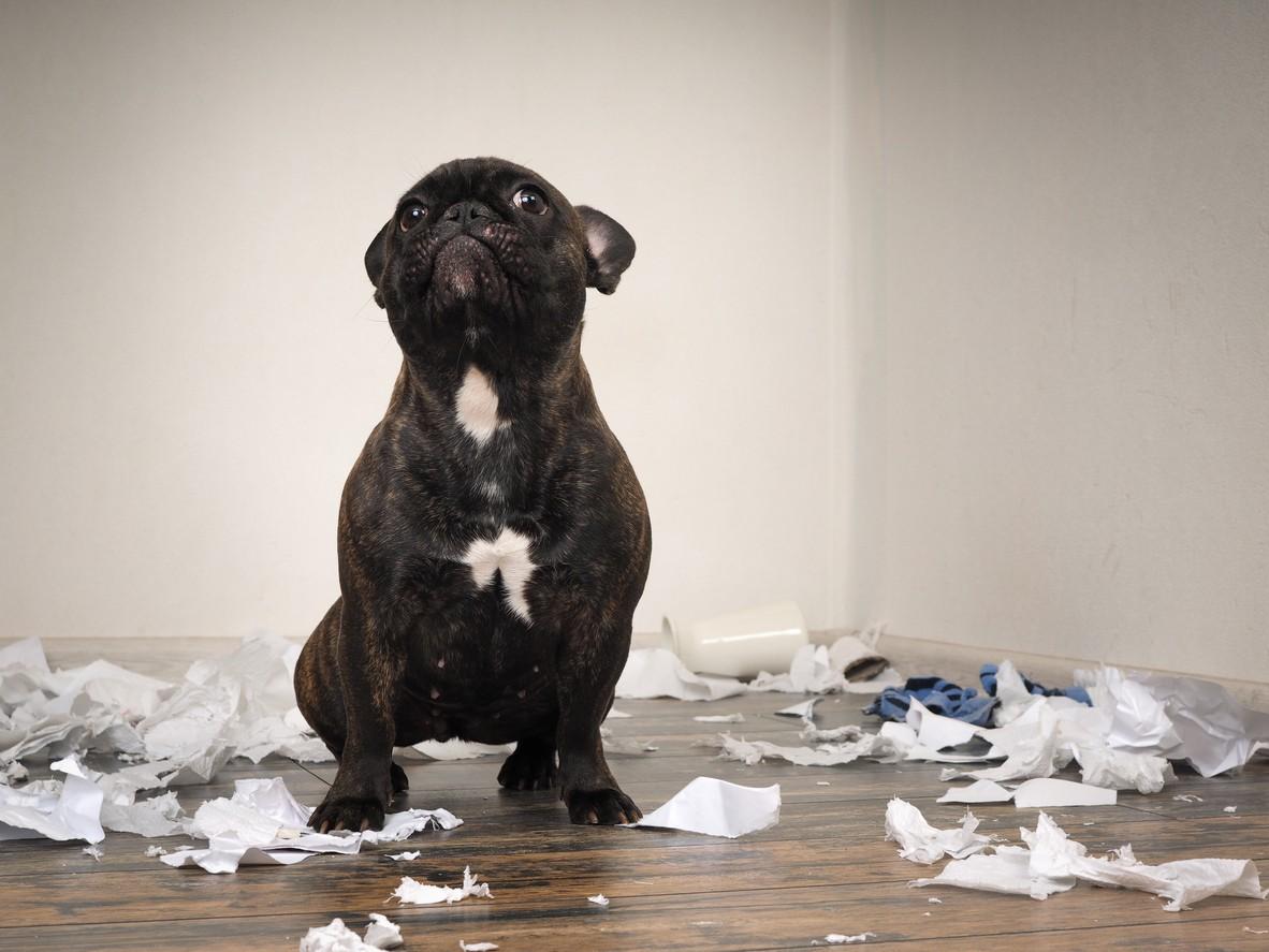 Playful French bulldog pup